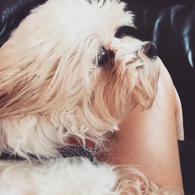 perfect little lapdog